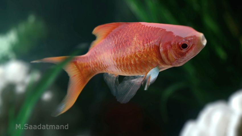 gold-fish-masoud-saadatmand