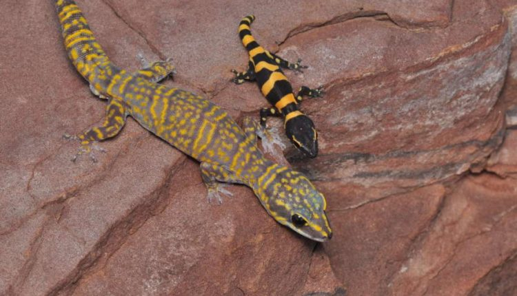 nuevo-gecko3