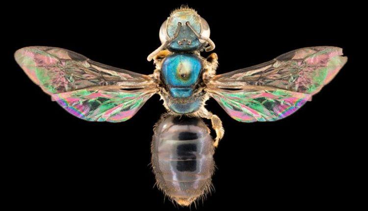 abejas-arcoiris_0