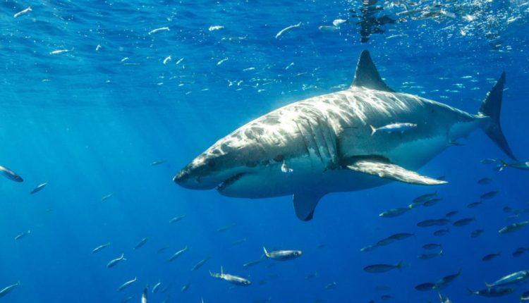 tiburón-blanco-1140×600
