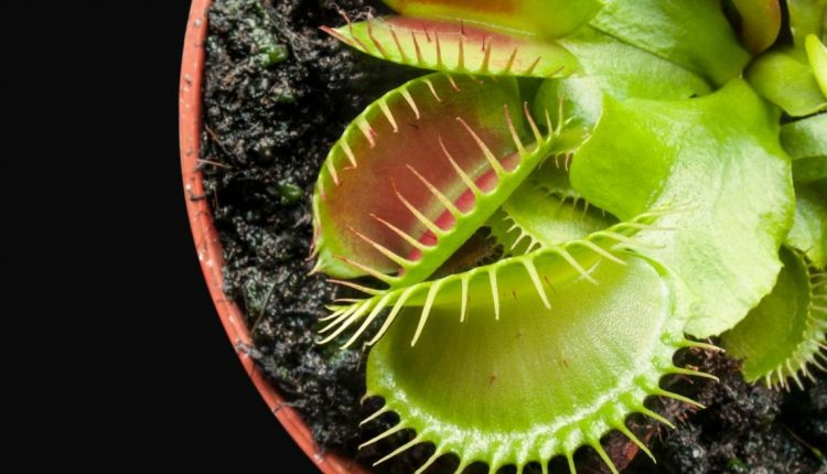 planta-carnivora_0